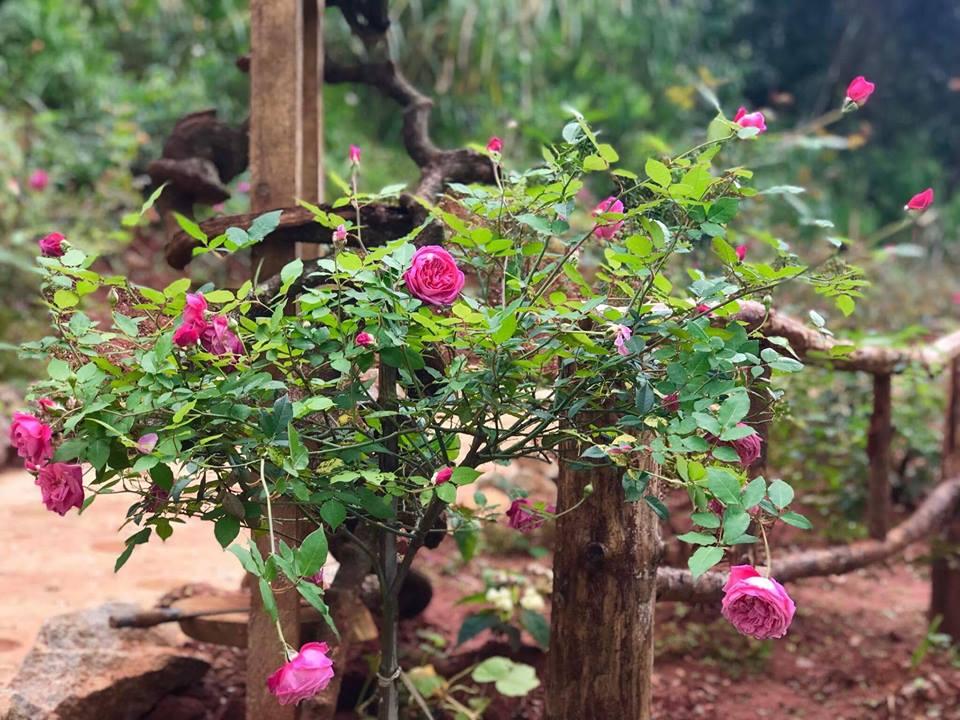 Hoa hồng ở khu du lịch này