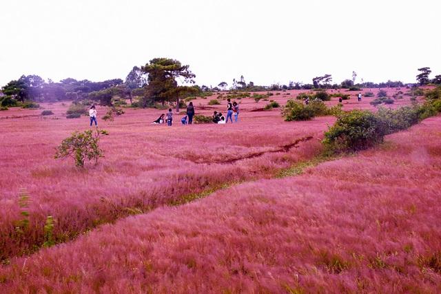 đồi cỏ hồng Đà Lạt.