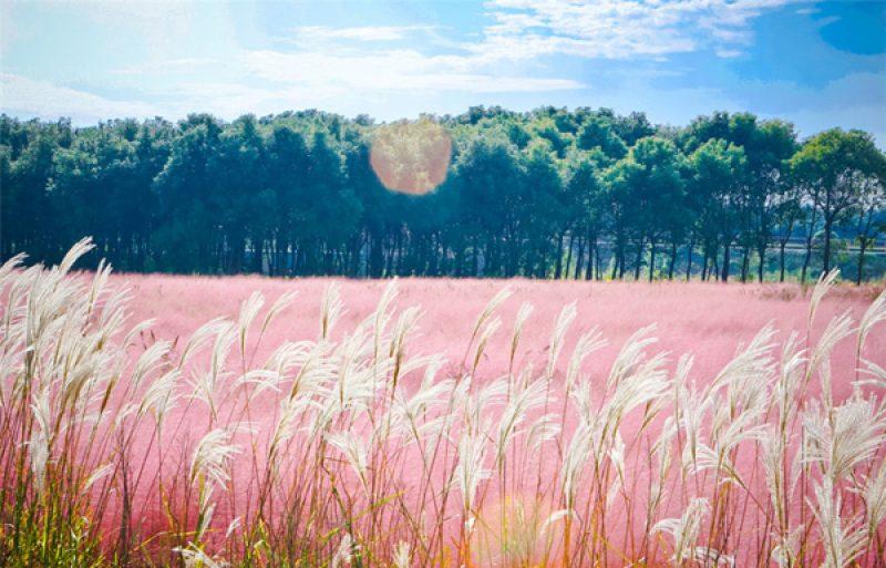 đồi cỏ hồng đẹp như tranh vẽ.