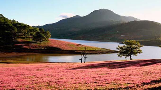 đồi cỏ hồng và cây cô đơn