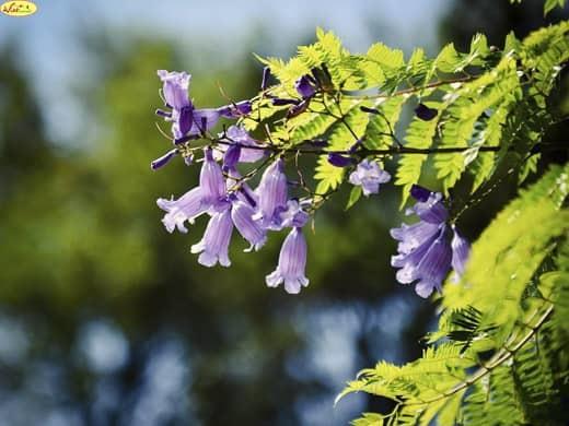cận cảnh vẻ đẹp của hoa phượng tím